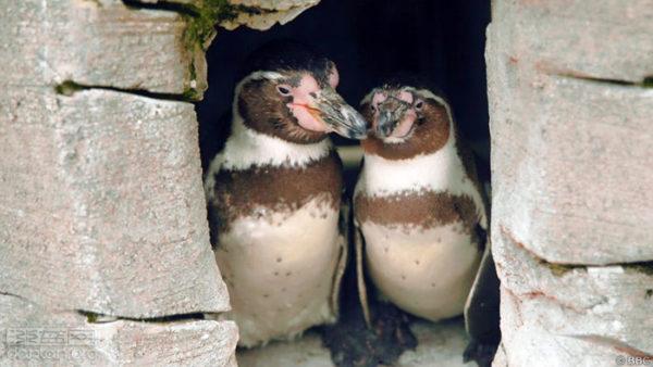 不來梅動物園的同志企鵝